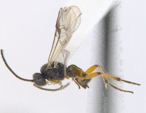 (Cotesia icipe - CNC507553)  @14 [ ] CreativeCommons – Attribution Non-Commercial Share-Alike (2016) Unspecified Canadian National Collection of Insects