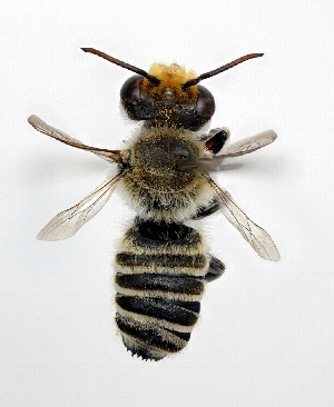 (Megachile kobensis - DNA000268)  @15 [ ] Unspecified default All Rights Reserved (2015) Osamu Tadauchi Kyushu University