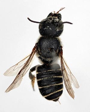 (Megachile spissula - DNA000277)  @15 [ ] Unspecified default All Rights Reserved (2015) Osamu Tadauchi Kyushu University