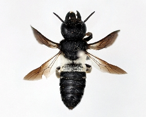 (Megachile disjunctiformis - DNA000279)  @13 [ ] Unspecified default All Rights Reserved (2015) Osamu Tadauchi Kyushu University