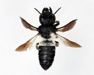 (Megachile disjunctiformis - DNA000279)  @13 [ ] Unspecified default All Rights Reserved (2015) Osamu Tadauchi Kyushu University