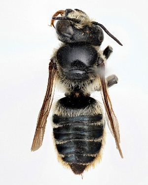 (Megachile igniscopata - DNA000281)  @15 [ ] Unspecified default All Rights Reserved (2015) Osamu Tadauchi Kyushu University