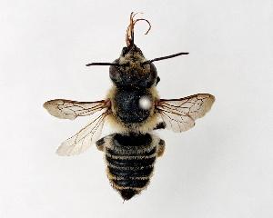 (Megachile remota - DNA000285)  @15 [ ] Unspecified default All Rights Reserved (2015) Osamu Tadauchi Kyushu University