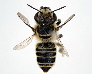 (Megachile kyotensis - DNA000292)  @11 [ ] Unspecified default All Rights Reserved (2015) Osamu Tadauchi Kyushu University