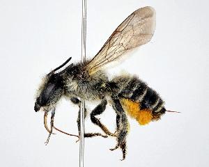 (Megachile ainu - DNA000302)  @15 [ ] Unspecified default All Rights Reserved (2015) Osamu Tadauchi Kyushu University