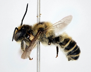 (Megachile tsurugensis - DNA000314)  @15 [ ] Unspecified default All Rights Reserved (2015) Osamu Tadauchi Kyushu University