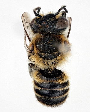 (Megachile asahinai - DNA000329)  @14 [ ] Unspecified default All Rights Reserved (2015) Osamu Tadauchi Kyushu University