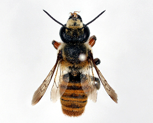 (Megachile okinawana - DNA000519)  @14 [ ] Unspecified default All Rights Reserved (2015) Osamu Tadauchi Kyushu University