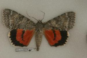 (Catocala semirelicta - 004-23-060806-CA)  @14 [ ] Copyright (2008) Robert J. Borth Research Collection of Robert J. Borth