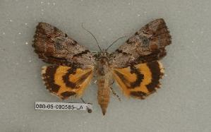 (Catocala praeclara - 086-65-090585-LA)  @12 [ ] Copyright (2008) Robert J. Borth Research Collection of Robert J. Borth