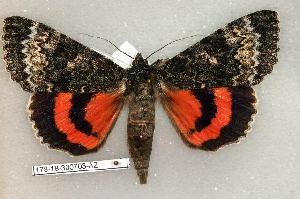 (Catocala grotiana - 178-18-300703-AZ)  @14 [ ] Copyright (2008) Robert J. Borth Research Collection of Robert J. Borth