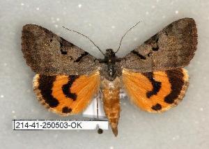 (Catocala abbreviatella - 214-41-250503-OK)  @14 [ ] Copyright (2008) Robert J. Borth Research Collection of Robert J. Borth