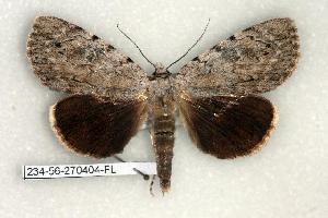 (Catocala orba - 234-56-270404-FL)  @14 [ ] Copyright (2008) Robert J. Borth Research Collection of Robert J. Borth