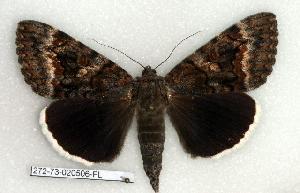 (Catocala epione - 272-73-020506-FL)  @14 [ ] Copyright (2008) Robert J. Borth Research Collection of Robert J. Borth