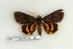 (Catocala connubialis - 347-77-000062-NJ)  @13 [ ] Copyright (2008) Robert J. Borth Research Collection of Robert J. Borth