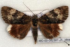 (Catocala dissimilis - 480-00-082387-JA)  @14 [ ] Copyright (2008) Robert J. Borth Research Collection of Robert J. Borth