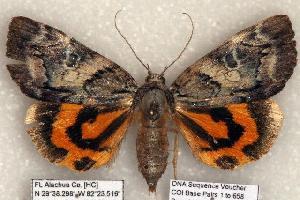 (Catocala aestivalia - 398-COI-06)  @15 [ ] Copyright (2008) Robert J. Borth Research Collection of Robert J. Borth