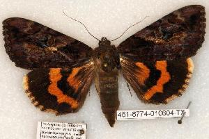 (Catocala muliercula - 451-8774-010604-TX)  @15 [ ] Copyright (2008) Robert J. Borth Research Collection of Robert J. Borth