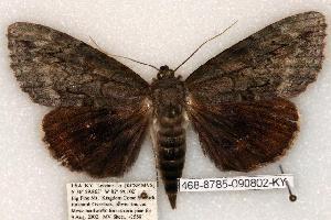 (Catocala residua - 468-8785-090802-KY)  @14 [ ] Copyright (2008) Robert J. Borth Research Collection of Robert J. Borth