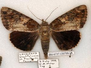 (Catocala atocala - 489-8787-030799-LA)  @14 [ ] Copyright (2008) Robert J. Borth Research Collection of Robert J. Borth