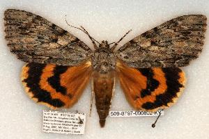 (Catocala subnata - 509-8797-090802-KY)  @15 [ ] Copyright (2008) Robert J. Borth Research Collection of Robert J. Borth
