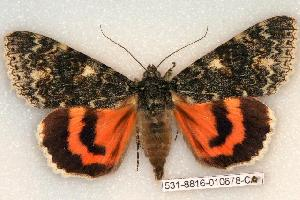 (Catocala californica - 531-8816-010678-CA)  @15 [ ] Copyright (2008) Robert J. Borth Research Collection of Robert J. Borth