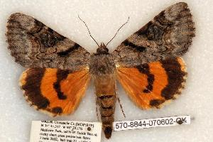 (Catocala amestris - 570-8844-070602-OK)  @15 [ ] Copyright (2008) Robert J. Borth Research Collection of Robert J. Borth