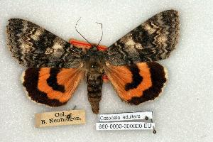 (Catocala adultera - 660-0000-000000-EU)  @15 [ ] Copyright (2008) Robert J. Borth Research Collection of Robert J. Borth