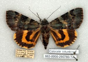 (Catocala columbina - 662-0000-290780-TA)  @15 [ ] Copyright (2008) Robert J. Borth Research Collection of Robert J. Borth
