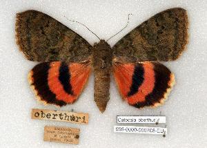 (Catocala oberthuri - 696-0000-000708-EU)  @14 [ ] Copyright (2008) Robert J. Borth Research Collection of Robert J. Borth