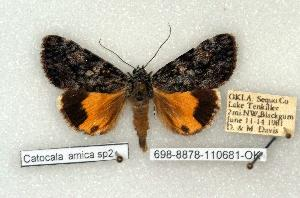 (Catocala lineella - 698-8878-110681-OK)  @14 [ ] Copyright (2008) Robert J. Borth Research Collection of Robert J. Borth
