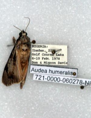 (Audea humeralis - 721-0000-060278-NI)  @12 [ ] Copyright (2008) Robert J. Borth Research Collection of Robert J. Borth