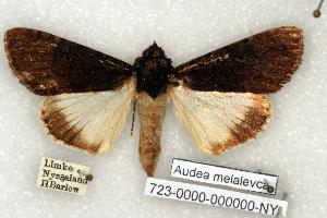 (Audea melalevca - 723-0000-000000-NY)  @14 [ ] Copyright (2008) Robert J. Borth Research Collection of Robert J. Borth