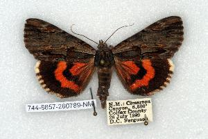 (Catocala ultronia - 744-8857-260789-NM)  @15 [ ] Copyright (2008) Robert J. Borth Research Collection of Robert J. Borth