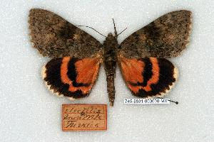 (Catocala electilis - 745-8831-000000-MX)  @14 [ ] Copyright (2008) Robert J. Borth Research Collection of Robert J. Borth