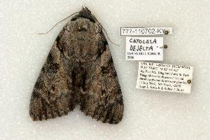 (Catocala dejecta - 777-110702-KY)  @14 [ ] Copyright (2008) Robert J. Borth Research Collection of Robert J. Borth