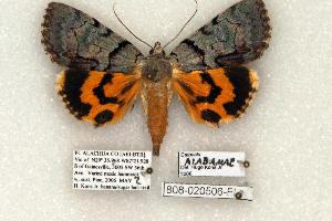 (Catocala alabamae - 808-020506-FL)  @15 [ ] Copyright (2008) Robert J. Borth Research Collection of Robert J. Borth