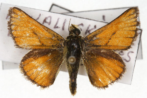(Pseudocopaeodes - CSU-CPG-LEP001563)  @15 [ ] Copyright (2009) Paul Opler Colorado State University
