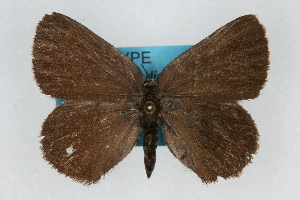 (Satyrium fuliginosa albolineatum - CSU-CPG-LEP001946)  @13 [ ] CreativeCommons - Attribution (2009) Unspecified Unspecified