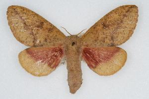 (Syssphinx bicolor - CSU-CPG-LEP002030)  @15 [ ] Copyright (2009) Paul Opler Colorado State University