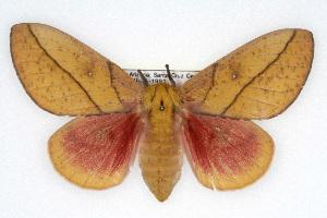(Syssphinx montana - CSU-CPG-LEP002041)  @15 [ ] Copyright (2009) Paul Opler Colorado State University