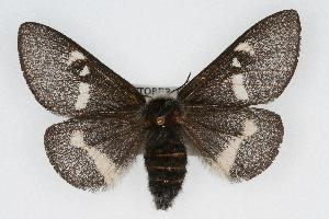 (Hemileuca grotei - CSU-CPG-LEP002158)  @14 [ ] Copyright (2009) Paul Opler Colorado State University