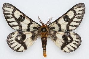 (Hemileuca hera hera - CSU-CPG-LEP002220)  @14 [ ] Copyright (2009) Paul Opler Colorado State University