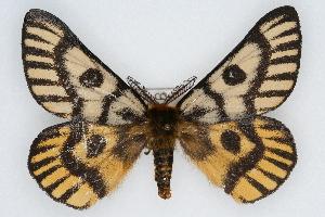 (Hemileuca nuttalli uniformis - CSU-CPG-LEP002232)  @14 [ ] Copyright (2009) Paul Opler Colorado State University