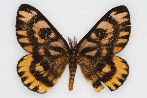 (Hemileuca eglanterina shastaensis - CSU-CPG-LEP002244)  @14 [ ] Copyright (2009) Paul Opler Colorado State University