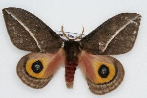 (Automeris zephyria - CSU-CPG-LEP002265)  @15 [ ] Copyright (2009) Paul Opler Colorado State University