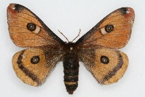 (Saturnia mendocino - CSU-CPG-LEP002267)  @15 [ ] Copyright (2009) Paul Opler Colorado State University