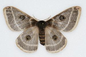 (Saturnia homogena - CSU-CPG-LEP002276)  @15 [ ] Copyright (2009) Paul Opler Colorado State University