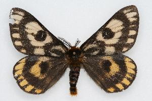 (Hemileuca eglanterina - CSU-CPG-LEP002283)  @15 [ ] Copyright (2009) Paul Opler Colorado State University