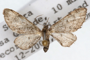 (Eupithecia huachuca - CSU-CPG-LEP002304)  @14 [ ] Copyright (2009) Paul Opler Colorado State University